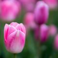 Photos: 花菜ガーデン【チャペックの庭のチューリップ】2-5