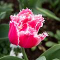 花菜ガーデン【チャペックの庭のチューリップ】2-6