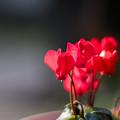 庭の花【シクラメン】1