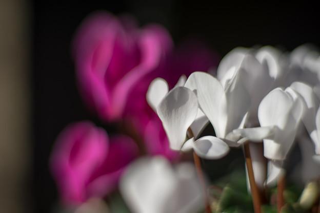Photos: 庭の花【シクラメン】2