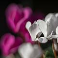 庭の花【シクラメン】2