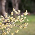 Photos: 神代植物公園【ロウバイ】2