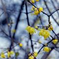 Photos: 神代植物公園【ロウバイ】3銀塩