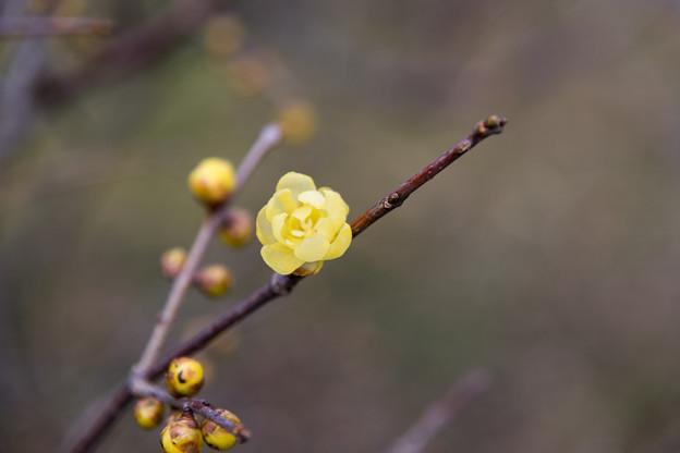 神代植物公園【ロウバイ】5