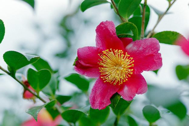 Photos: 神代植物公園【サザンカ】2銀塩