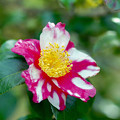 Photos: 神代植物公園【サザンカ】1銀塩