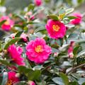 Photos: 神代植物公園【寒椿:獅子頭】1