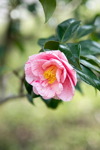 神代植物公園【寒椿:白露錦】