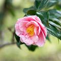 Photos: 神代植物公園【寒椿:白露錦】