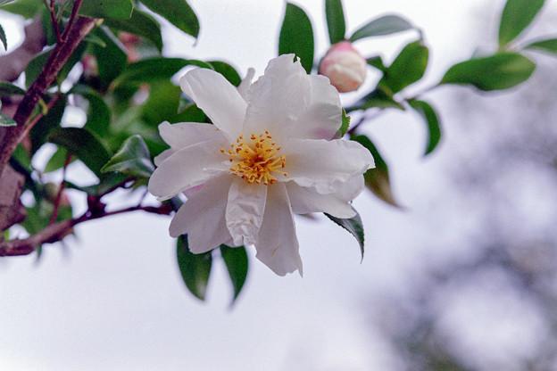 神代植物公園【寒椿:銀竜】銀塩