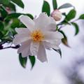 Photos: 神代植物公園【寒椿:銀竜】銀塩