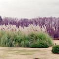 Photos: 神代植物公園【パンパスグラス】1銀塩