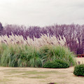 神代植物公園【パンパスグラス】1銀塩