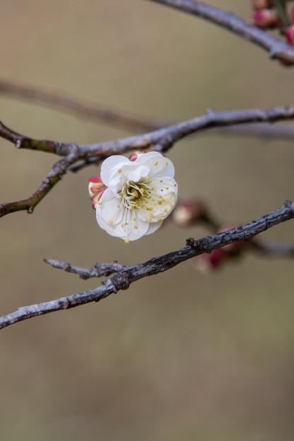 神代植物公園【梅の花:白難波】1