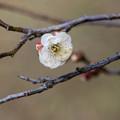 Photos: 神代植物公園【梅の花:白難波】1