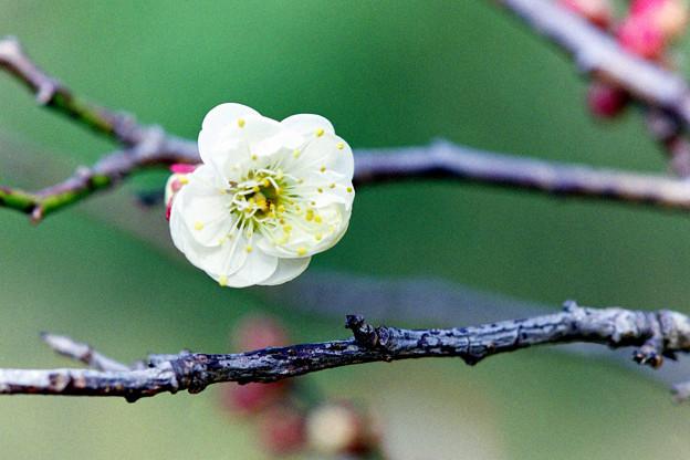 神代植物公園【梅の花:白難波】2銀塩