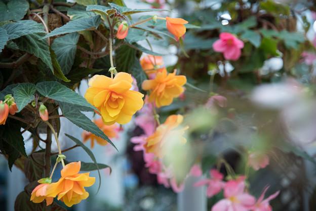 神代植物公園【ベゴニアの花】1