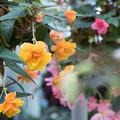 Photos: 神代植物公園【ベゴニアの花】1