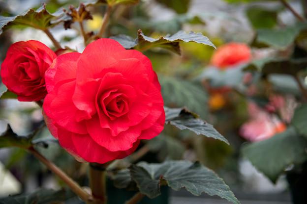 神代植物公園【ベゴニアの花】2