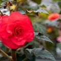 Photos: 神代植物公園【ベゴニアの花】2