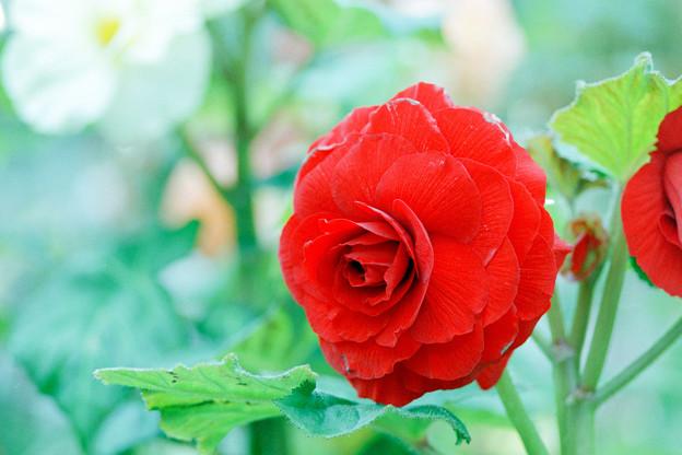 神代植物公園【ベゴニアの花】3銀塩