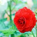 Photos: 神代植物公園【ベゴニアの花】3銀塩
