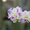 神代植物公園【蘭の花】1