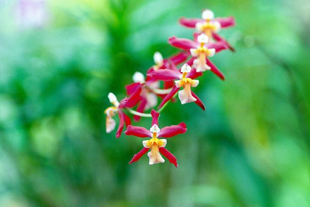 神代植物公園【蘭の花】2銀塩
