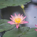 Photos: 神代植物公園【熱帯スイレン:アルバート・グリーンバーグ】