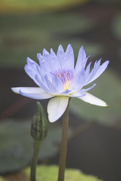 神代植物公園【熱帯スイレン:ブルー・スモーク】