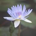 Photos: 神代植物公園【熱帯スイレン:ブルー・スモーク】