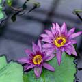 Photos: 神代植物公園【熱帯スイレン:ディレクター・GTムーア】1銀塩