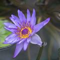 Photos: 神代植物公園【熱帯スイレン:ディレクター・GTムーア】2