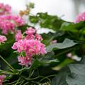 神代植物公園【ブーゲンビリア】1