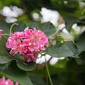 神代植物公園【ブーゲンビリア】2