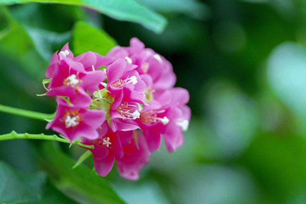 神代植物公園【ブーゲンビリア】3銀塩