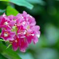 Photos: 神代植物公園【ブーゲンビリア】3銀塩