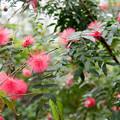 神代植物公園【オオベニゴウカン】1