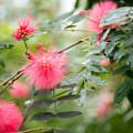 神代植物公園【オオベニゴウカン】2