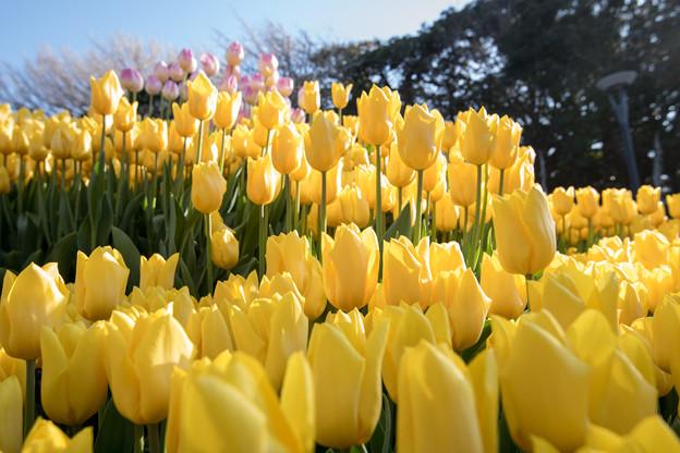 江ノ島サムエル・コッキング苑【黄色のチューリップ】1