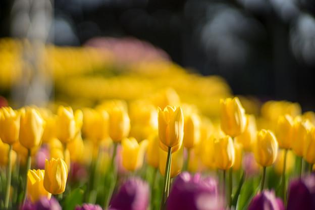江ノ島サムエル・コッキング苑【黄色のチューリップ】5