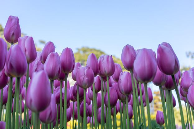 江ノ島サムエル・コッキング苑【紫のチューリップ】2