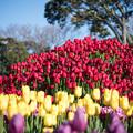 江ノ島サムエル・コッキング苑【赤色のチューリップ】1