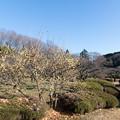 Photos: 薬師池公園【ロウバイ】1
