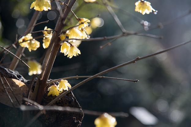 Photos: 薬師池公園【ロウバイ】6