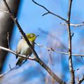 Photos: 薬師池公園【野鳥:メジロ】