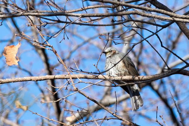 薬師池公園【野鳥:ヒヨドリ】