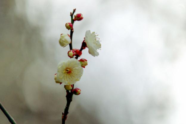 小田原フラワーガーデン【早咲きの梅:辻村早咲】5銀塩
