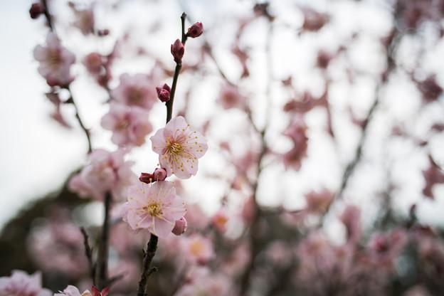 小田原フラワーガーデン【早咲きの梅:紅冬至】1