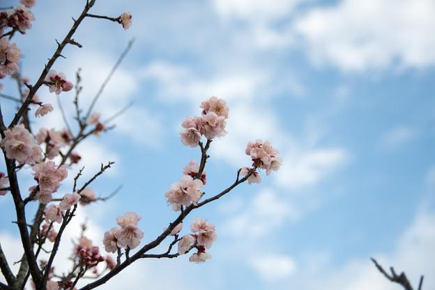 小田原フラワーガーデン【早咲きの梅:紅冬至】2
